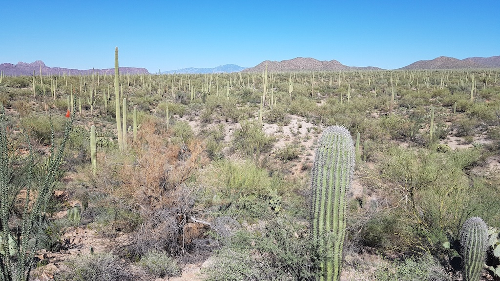 Saguaros in the Arizona Desert